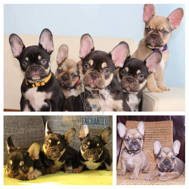 Southern New Jersey French Bulldog Breeders Enchanted Frenchies