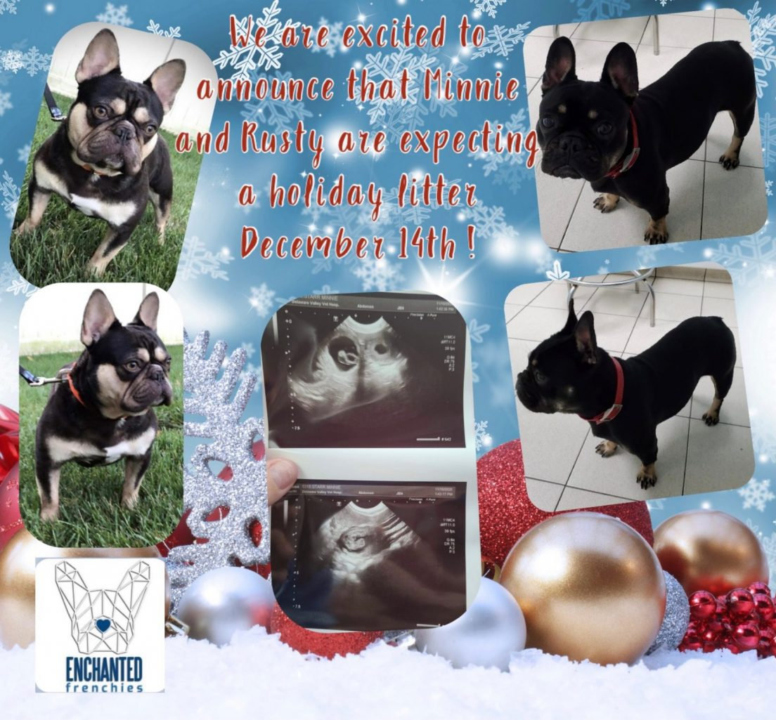 South Jersey French Bulldog Puppies